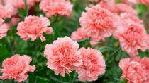 母の日になぜカーネーション?色の意味や鉢植え、花束アレンジ、折り紙での作り方など