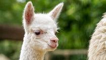 兵庫周辺に動物園にアルパカを見に行こう。親子で楽しめるイベントや施設情報
