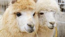 北陸周辺のアルパカに会える動物園。ふれあい体験やえさやり体験を子どもと楽しもう