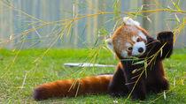静岡県でレッサーパンダに会える動物園。食事風景など、可愛らしい姿を親子で見に行こう