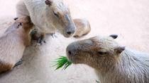 関東でカピバラに会える動物園。かわいらしい姿を見に行こう