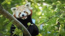 関西でかわいらしいレッサーパンダに会える動物園