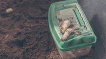 カブトムシの幼虫の育て方。ペットボトルやビンを使っての、冬から春の育て方の注意点