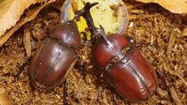 カブトムシの成虫や幼虫の飼い方や飼育するときのポイント