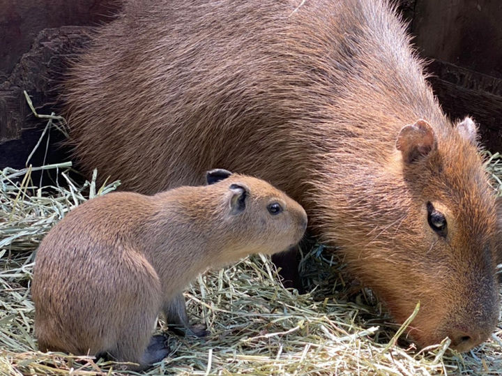 カピバラの赤ちゃん(5月3日(月)誕生・体長約 30cm・体重約 2.0kg)