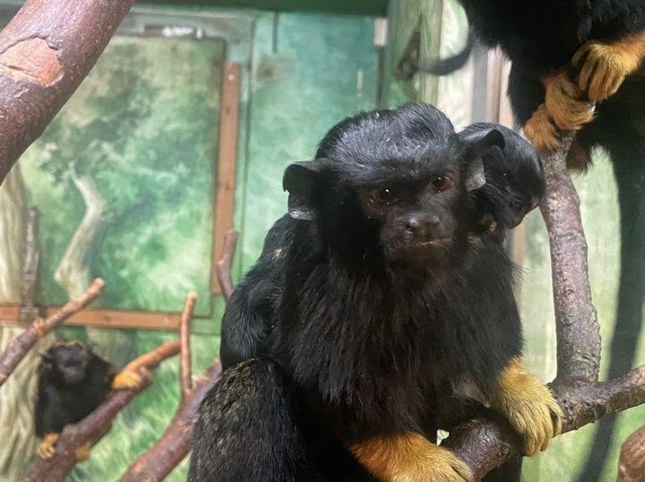 アカテタマリンの赤ちゃん(4月28日(水)誕生・体長約 10cm、体重約 40~50g)