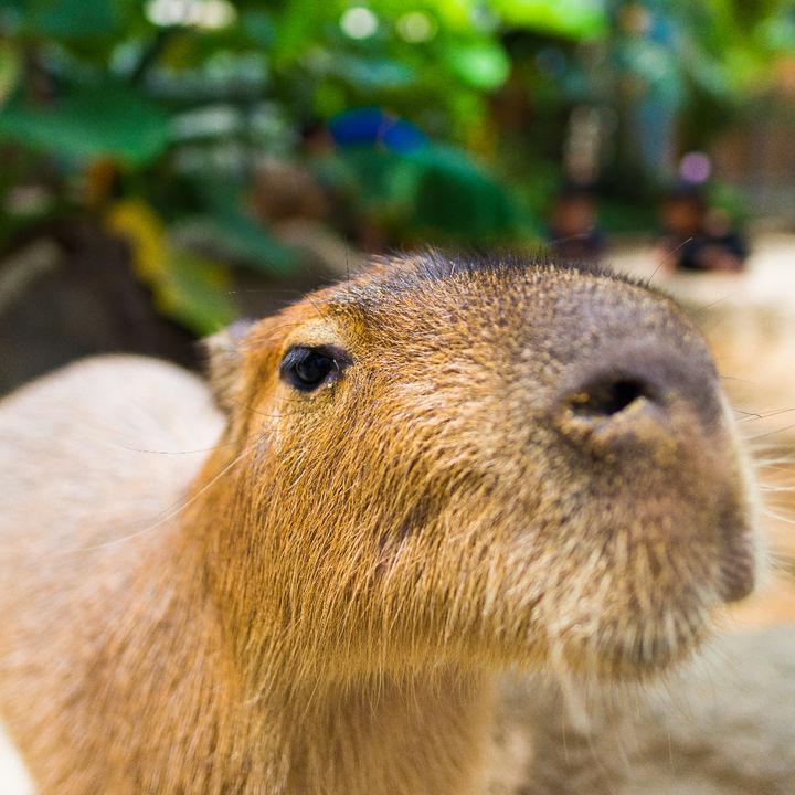 日本国内でカピバラがいる水族館はどこ?施設情報やイベントなど併せて紹介