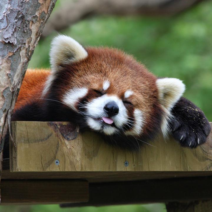 東京でレッサーパンダに会える動物園。子連れにおすすめのスポット
