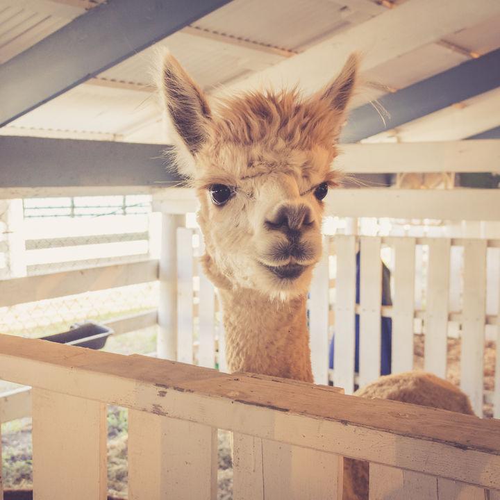 大阪周辺でアルパカがいる動物園はある?子連れにおすすめのスポット