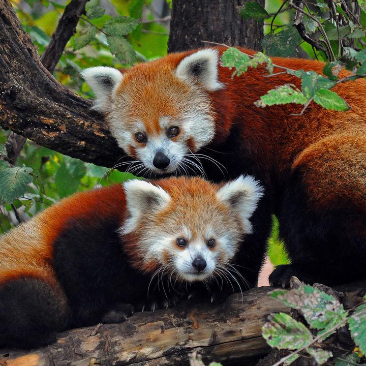 都内で愛らしいレッサーパンダに会える動物園へ子どもと出かけよう