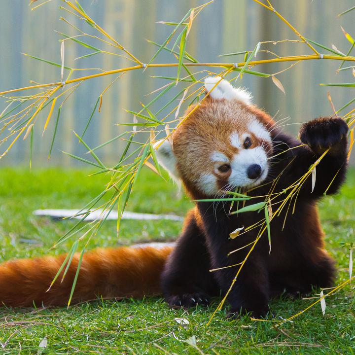 兵庫周辺でレッサーパンダに会える動物園。子どもに大人気のレッサーパンダに会いに行こう