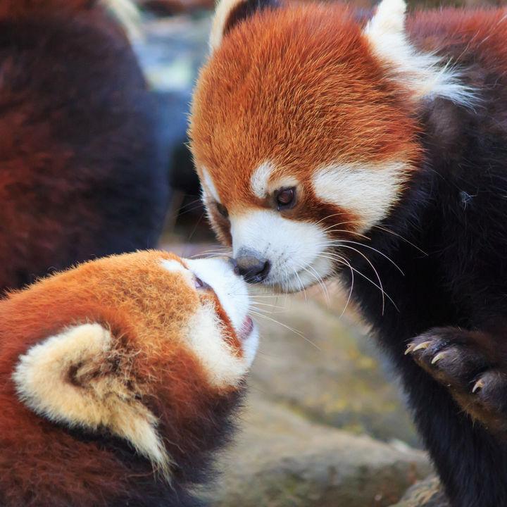 大阪周辺でレッサーパンダに会える動物園。かわいらしい姿を見に行こう