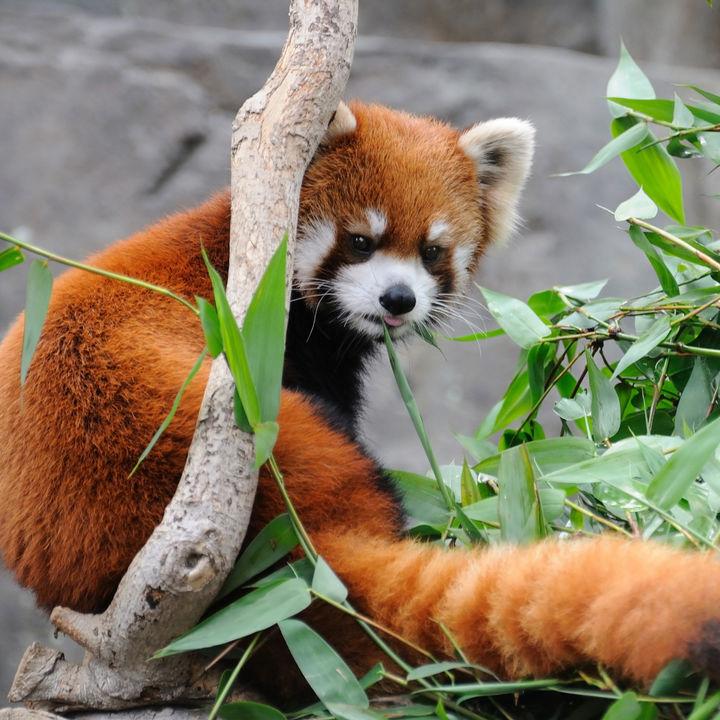 関東でレッサーパンダに会える動物園。愛らしいレッサーパンダに会いに行こう