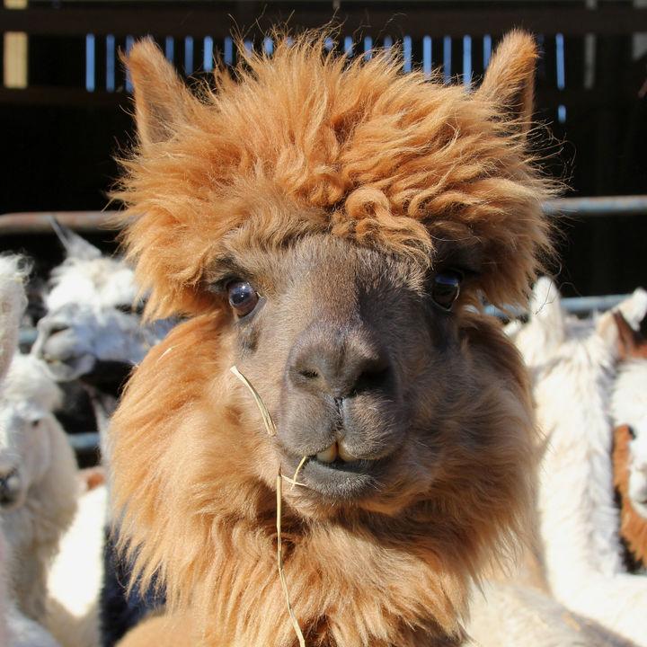 関西でアルパカに会える動物園。愛嬌のあるアルパカを見に行こう