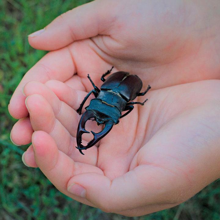 クワガタの幼虫、さなぎ、成虫の飼い方。越冬温度やダニ対策、土やエサ、おがくずなど