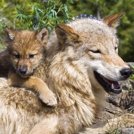 オオカミを見るならどの動物園?迫力満点のオオカミを見られるおすすめ動物園