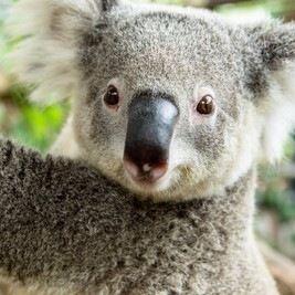 つぶらな瞳に癒される!コアラに会える8つの動物園